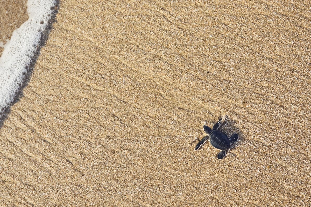 Baby sea turtles represent one species at its most vulnerable.